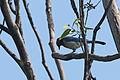 Chara, Western Scrub Jay, Aphelocoma californica (19977696816).jpg