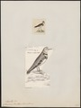 Charadrius tricollaris - 1700-1880 - Print - Iconographia Zoologica - Special Collections University of Amsterdam - UBA01 IZ17200229.tif
