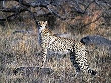 Chita do sudeste africano no Parque Nacional Kruger na África do Sul