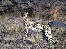 Zuidoost-Afrikaanse cheetah in Kruger National Park in Zuid-Afrika