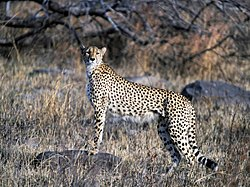 Cheetah (Kruger National Park, South Africa, 2001)