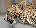 Cheetah Profile (4510528820).jpg