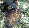 Chelonia mydas (green sea turtle) (San Salvador Island, Bahamas) 5 (15561502234).jpg