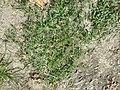 Chenopodium vulvaria sl62.jpg