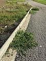 Chenopodium vulvaria sl83.jpg