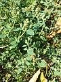 Chenopodium vulvaria sl94.jpg