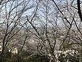Cherry blossoms in Sasayama Park 13.jpg