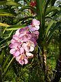 Chiang Mai Orchids P1110389.JPG