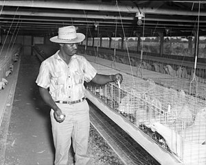Battery cage - A chicken coop from the 1950s