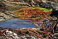 Chile - Pichilemu 14 - cochayuyo seaweed (6980542281).jpg