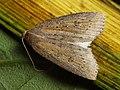 Chilodes maritimus - Silky wainscot - Совка серая камышовая (40408476934).jpg