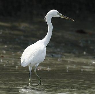 Chinese egret - Laem Pak Bia District - Thailand