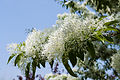 Chionanthus retusus - Chinese Fringetree - 12.jpg