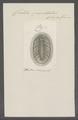 Chiton punctatus - - Print - Iconographia Zoologica - Special Collections University of Amsterdam - UBAINV0274 081 06 0009.tif