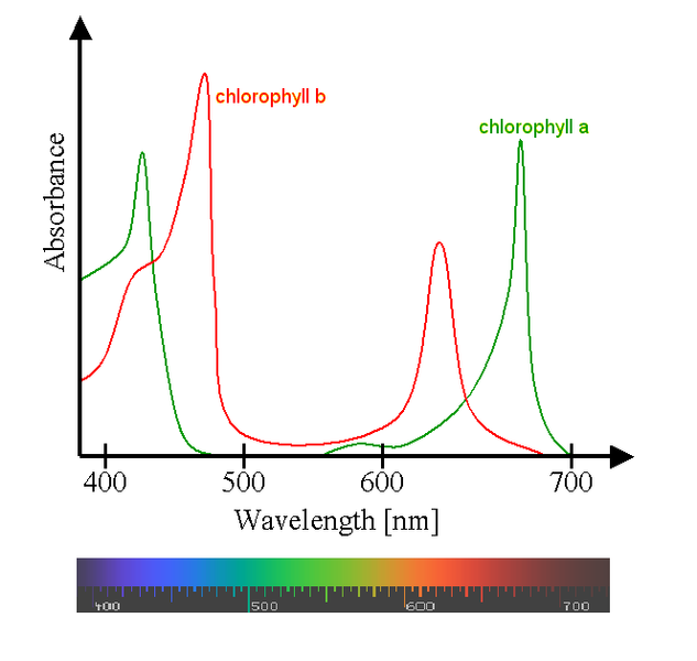 an experiment on spinach lead pigments and light absorbency Experiment colours of light (wavelength)  colors of light (wavelength) absorbed by green plant  7: average percentage of absorption by spinach.