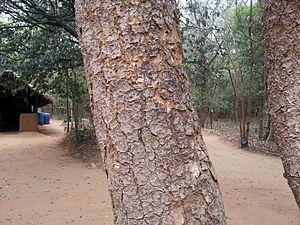 Chloroxylon swietenia - At Pophum's Arbortum, Dambulla
