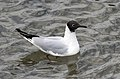 Chroicocephalus ridibundus - Black-headed Gull 03.jpg
