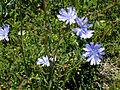 Cichorium intybus flower1 (12112874946).jpg