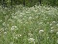 Cicuta virosa creutzwald 57 02072005 2.JPG
