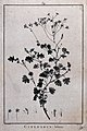 Cineraria lobata; flowering stem and floral segments. Line e Wellcome V0043155.jpg
