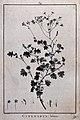 Cineraria lobata; flowering stem and floral segments. Line e Wellcome V0043155.jpg