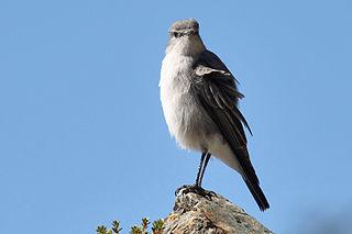 Cinereous ground tyrant Species of bird