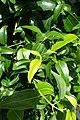Cinnamomum verum kz1.jpg