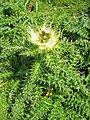 Cirsium spinosissimum Pyhrgas.jpg