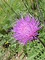 Cirsium tuberosum 'Tuberous Thistle' (Compositae) flower.JPG