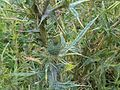 Cirsium vulgare - wetland 2011.07.20 2.jpg