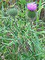 Cirsium vulgare habitus.jpeg