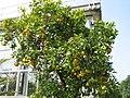 Citrus sinensis JPG01.jpg