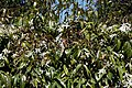 City of London Cemetery and Crematorium - Trachelospermum jasminoides star jasmine.jpg
