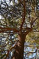 City of London Cemetery and Crematorium ~ cedar tree canopy.jpg