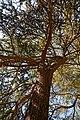 City of London Cemetery and Crematorium ~ cedar tree canopy.jpg