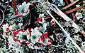 Cladonia pleurota-6.jpg