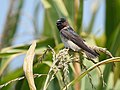 Cliff Swallow - juvenile (29135098797).jpg