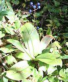 Clintonia udensis fruit.jpg