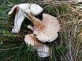 Clitopilus prunulus3.JPG