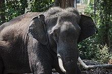 Elephants In Kerala Culture Wikipedia