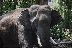 Elephants in Kerala culture - Closeup of a Domesticated Asian Elephant, Guruvayoor, Thrissur, Kerala