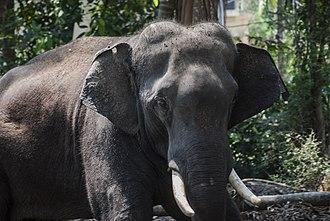 Elephants in Kerala culture - Closeup of a Domesticated Asian Elephant, Guruvayoor, Thrissur, Kerala