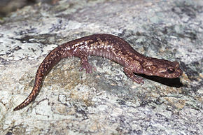 Description de l'image Clouded Salamander, Aneides ferreus.jpg.