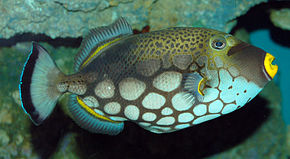 Description de l'image  Clown Triggerfish Balistoides conspicillum Side 1888px.jpg.
