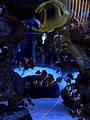 Clownfish in Two Oceans Aquarium, Capetown- - 1.jpg