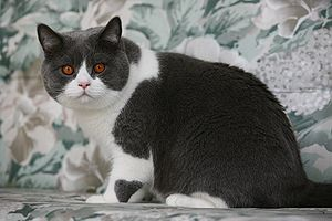 Cat coat genetics - Blue (grey) and white bicolor cat