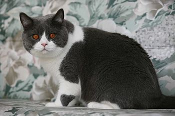 English: British Shorthair Deutsch: British Ku...