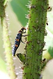 Larva spásající mšice