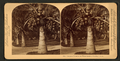 Cocoanut (coconut) trees in the white sands of Florida, U.S.A, from Robert N. Dennis collection of stereoscopic views 7.png