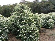A flowering Coffea arabica tree in a Brazilian plantation